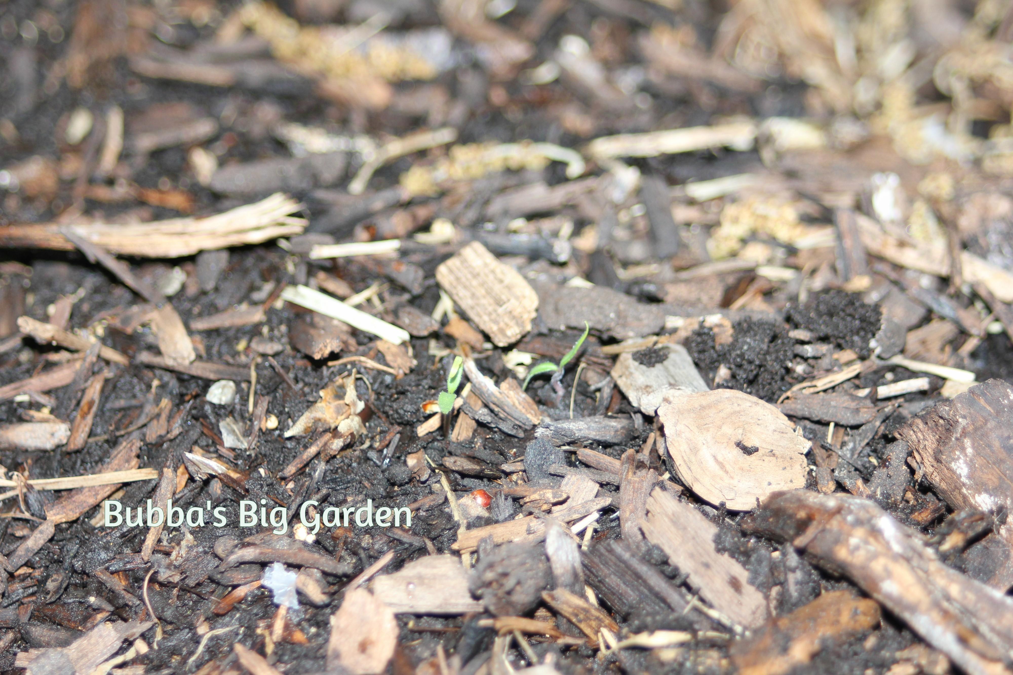 Bubba's Big Garden